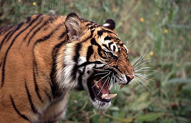 Tīģeri tumsā redz 6 reizes... Autors: Zāģis Fakti par tīģeriem.