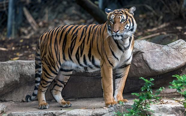 Ja tīģeris tev iesistu ar... Autors: Zāģis Fakti par tīģeriem.