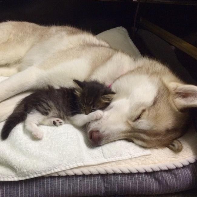 Ierodoties siltās mājās Roze... Autors: Jorogumo Kaķēns gandrīz aizgāja bojā, bet, satiekot haskiju Lilo, notika brīnums