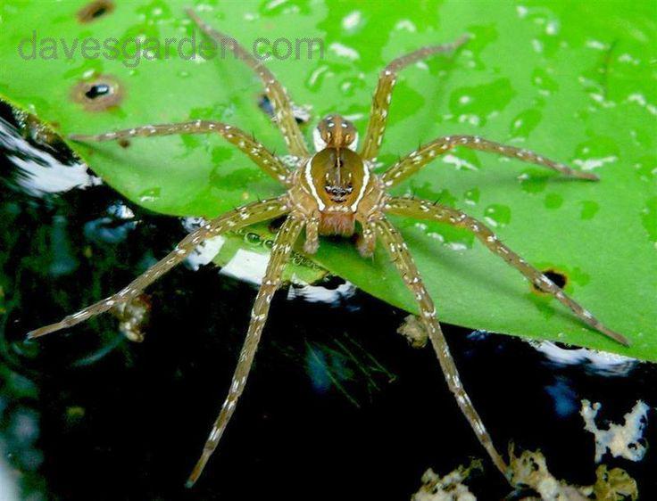 Zivju ēdoscaronie zirnekļi... Autors: Zirnrēklis Zirnekļi, kas pārtiek no zivīm