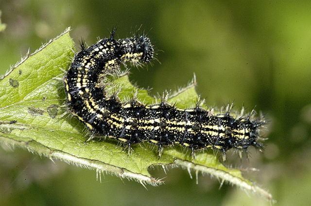 vanessa butterfly larvae - 640×425